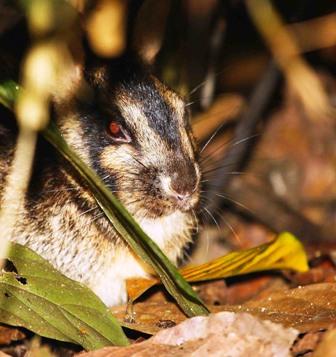 Суматранский полосатый кролик