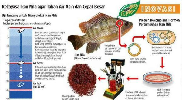 ikan nila di indonesiaproud wordpress com